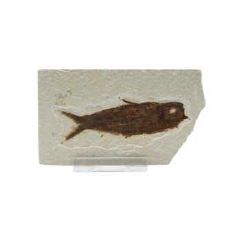 Schätze der Erde - Versteinerter Fisch - 7-10cm...
