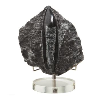 Schätze der Erde - Orthoceras - 7-10cm inkl....
