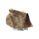 Schätze der Erde - Mosasaurier-Zahn - 7-10cm Fossilienfund
