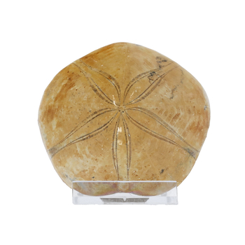 Schätze der Erde - Sanddollar - 7-10cm Fossilienfund