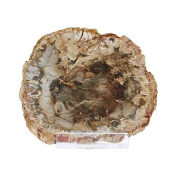 Schätze der Erde - versteinertes Holz - 7-10cm...