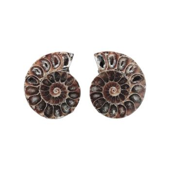 Ammoniten 3,0 - 3,5cm mit Zertifikat - Fossilienfund