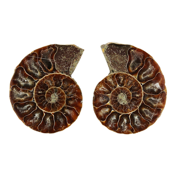 Ammoniten 4,0 - 4,5cm mit Zertifikat - Fossilienfund